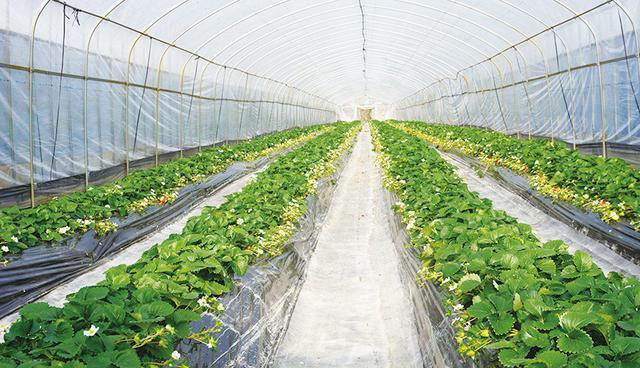 今年就决定来日本采草莓!快来品尝奈良特产的三大梦幻草莓品种